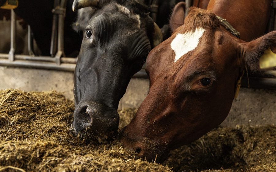 Fressende Kühe